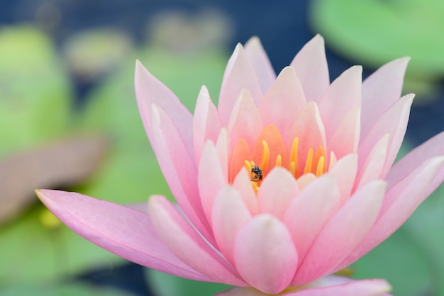 Waterlily abstraktes natürliches helles wasser