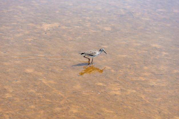 Watvögel, langschnabelige näherin, die vogel füttert, der über seichtem wasser watet (limnodromus scolopaceus)