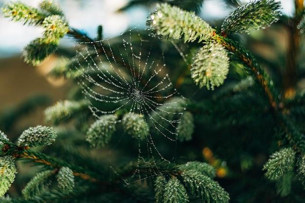 Web in tautropfen auf fichtenzweigen