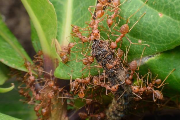 Weberameisen oder grüne ameisen, die lebensmittel in ihre kolonie überführen