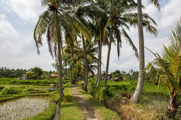 Weg zwischen palmen und reisfeldern.