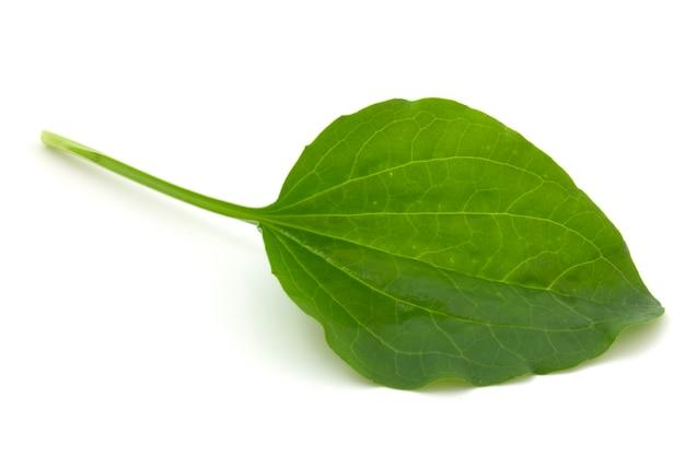 Wegerichblatt, heilpflanze isoliert auf weißem hintergrund.
