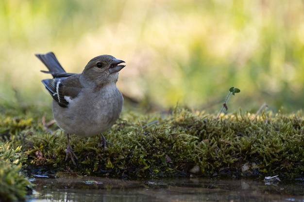 Weibchen des gemeinsamen buchfinken fringilla coelebs, trinkt wasser.