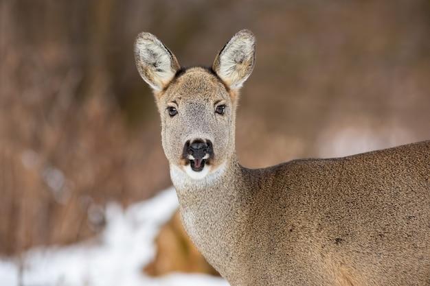 Weibchen von reh mit flauschigem wintermantel und offenem mund