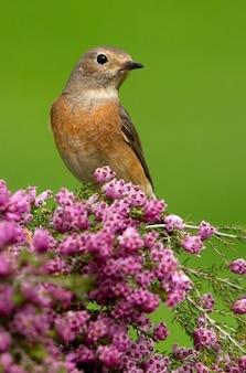 Weibchen von rotschwanz mit den letzten lichtern des nachmittags, vögel, phoenicurus phoenicurus