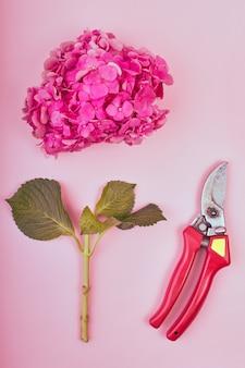 Weiblich vom schönen blumenhintergrund. rosa hortensie mit gartenschere auf rosa hintergrund,