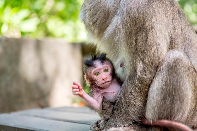 Weibliche balinesische langschwanzaffen mit ihrem kind