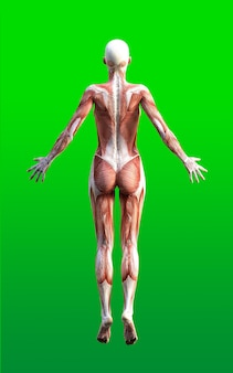 Weibliche figuren stellen mit haut und muskel-karte auf