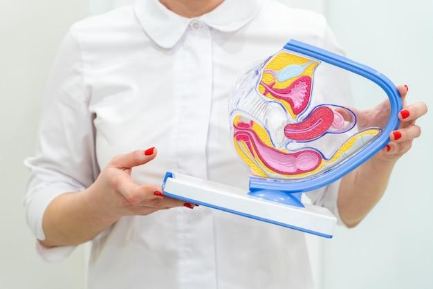 Weibliche gynäkologenhände, die anatomisches modell für studie halten