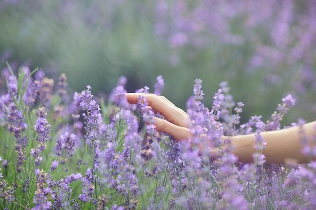 Weibliche hände berühren blumen im lavendelfeld