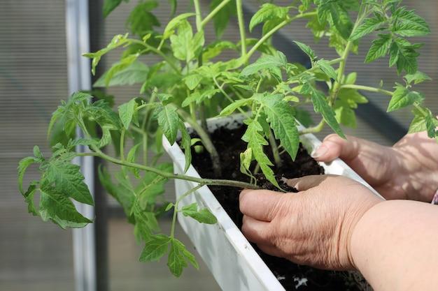 Weibliche hände bewahren die authentizität von tomatensämlingen, bevor sie pflanzen in gewächshäusern pflanzen