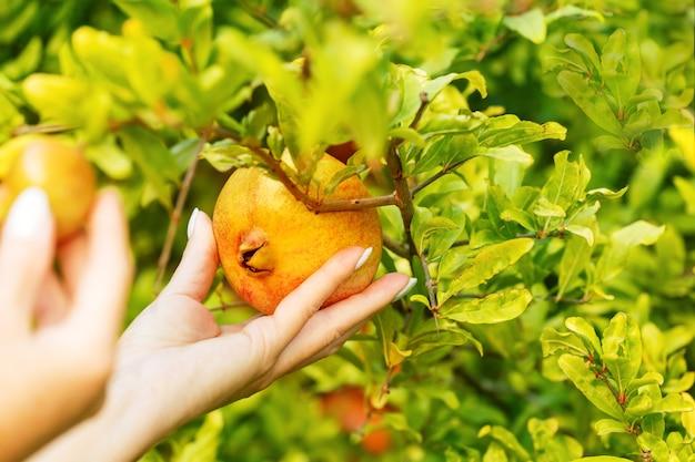 Weibliche hände, die bei sonnenaufgang eine granatapfelfrucht von einem baum nehmen.