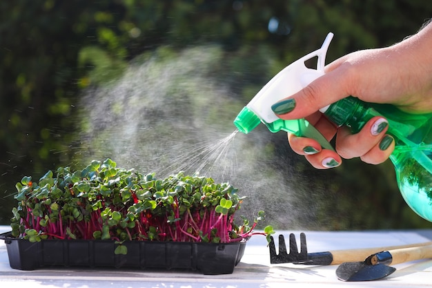 Weibliche hände, die mikrogrün mit handsprüher vor einem hintergrund von grün wachsendem mikrogrün gießen...