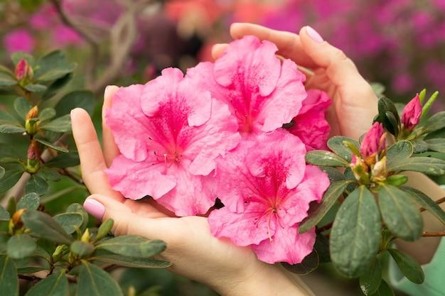Weibliche hände halten rosa azaleenblume, helle exotische blume, frühlingshintergrund