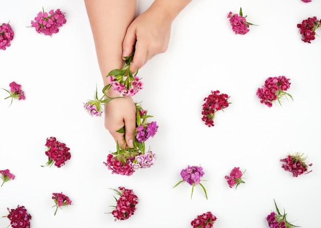 Weibliche hände mit heller glatter haut und knospen einer blühenden türkischen gartennelke