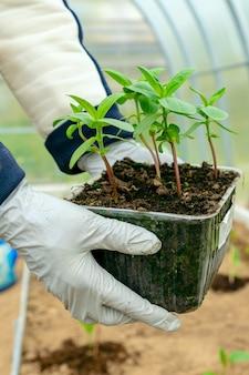 Weibliche hände mit zinnia-blumensämlingen, die zum einpflanzen in den boden bereit sind. landwirtschafts- und gartenkonzept