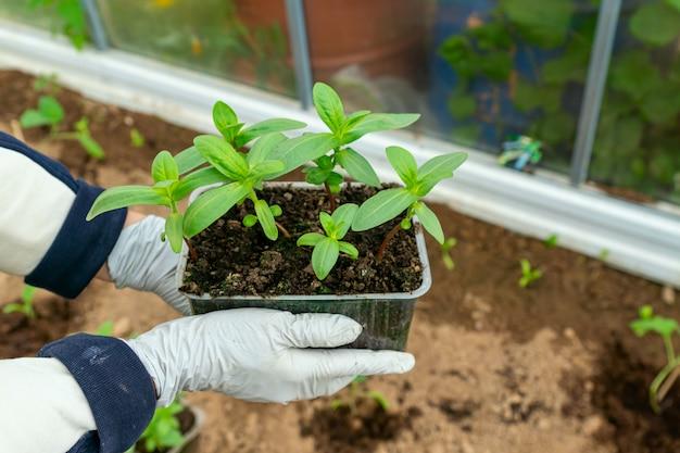 Weibliche hände pflanzen zinnia flowr-sämlinge in den boden. landwirtschafts- und gartenkonzept.