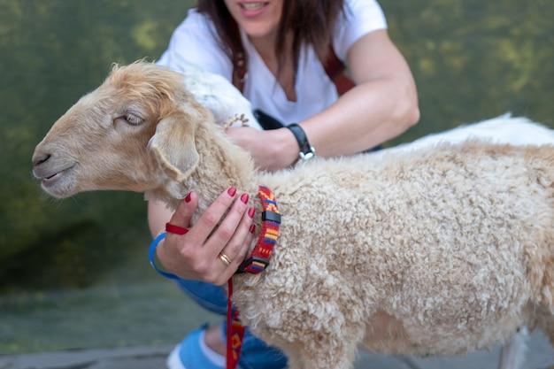 Weibliche hände streicheln den kopf eines lamms.