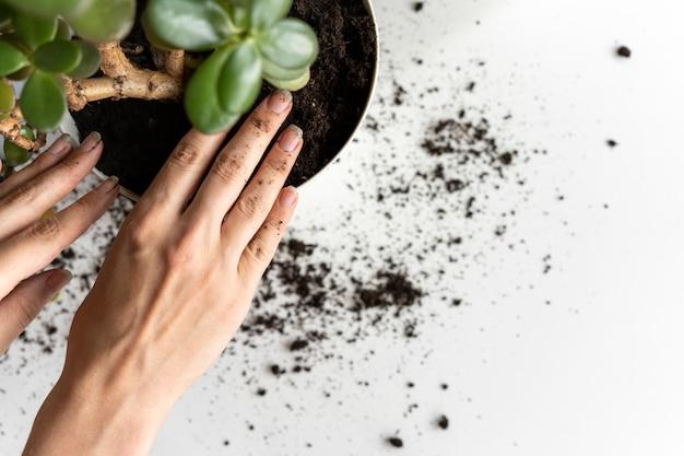 Weibliche hände verpflanzen eine zimmerpflanzenblume in einen neuen topf.