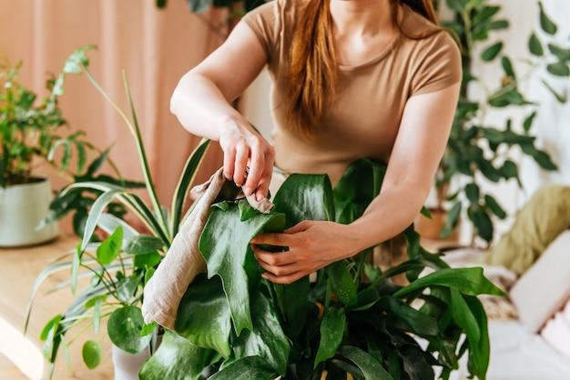 Weibliche hände waschen die blätter von zimmerpflanzen zu hause
