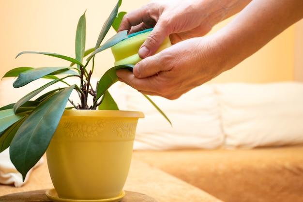 Weibliche hände wischen mit nassen schwammgrünen blättern des zimmerpflanzenficus ab, der im gelben blumentopf im wohnzimmer mit couch steht.