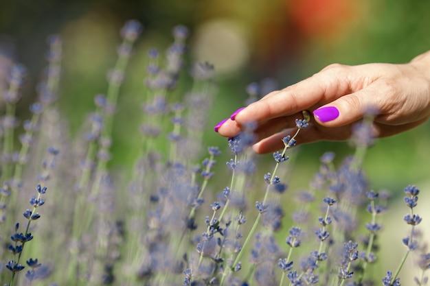 Weibliche hand, die bündel der lavendelblumen berührt