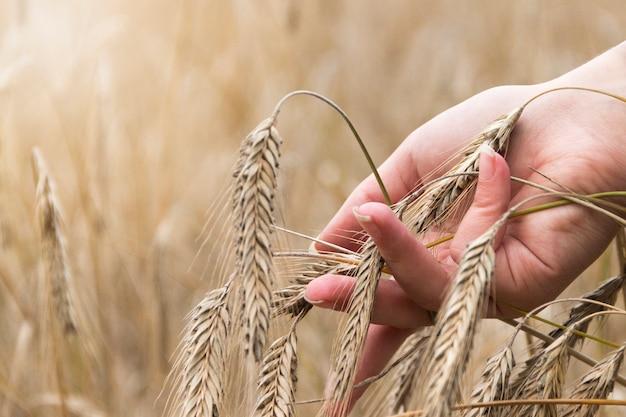 Weibliche hand, die ein goldenes ohr des weizens auf einem weizengebiet berührt