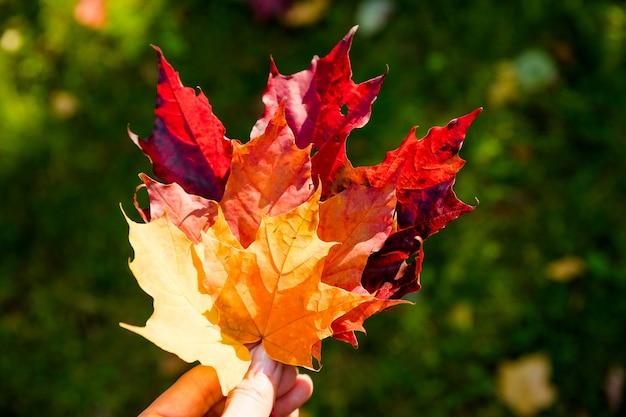 Weibliche hand, die mehrfarbiges ahornblatt gegen natur hält, verschwommener hintergrund mit sonnenlichtstrahlen. herbstzeit saison. warmer herbsttag im park. hand mit hellem blatt mit sonnenlicht