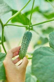 Weibliche hand, die reife gurken aus dem hinterhofgarten pflücken, sämlinge wachsen im gewächshaus, bereit zur ernte, lokale landwirtschaft, erntekonzept.