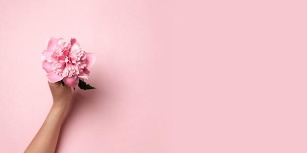 Weibliche hand, die rosa zweigpfingstrosenblume auf rosa hält