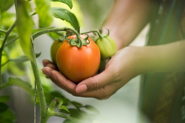 Weibliche hand, die tomate auf biohof hält
