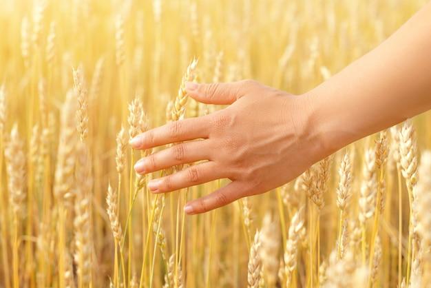Weibliche hand, die weizenohren nah oben berührt, sonnenaufgangsszene, gesunder lebensstil, ökologischer landbau, erntezeit, natur genießen