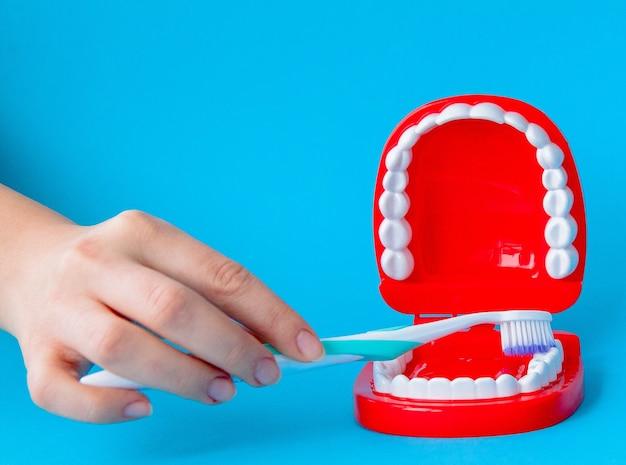 Weibliche hand, die zahnmodell mit zahnbürste auf blauem hintergrund hält.