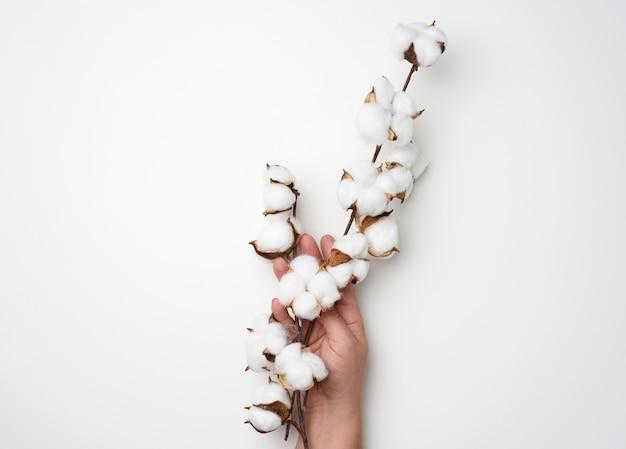 Weibliche hand hält einen zweig mit baumwollblumen auf weißem hintergrund, nahaufnahme