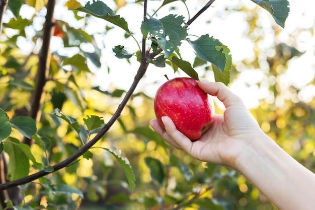 Weibliche hand hält schönen leckeren roten apfel auf zweig des apfelbaums im obstgarten und erntet für essenserz-apfelsaft. ernte von äpfeln im sommergarten draußen. dorf, rustikaler stil. stock foto.