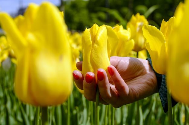 Weibliche hand mit der roten maniküre, die eine gelbe tulpe für den stamm, frühling, stillleben hält