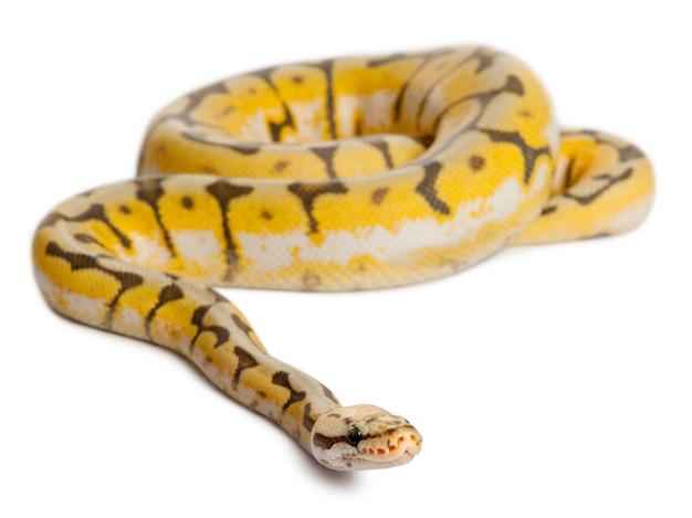 Weibliche killerbee royal python, ball python - python regius killerbee ist die farbe
