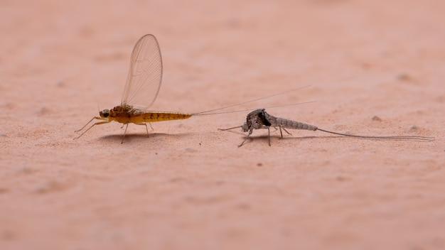 Weibliche kleine eintagsfliege der gattung baetis, die das exoskelett verlässt