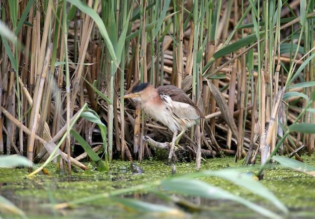 Weibliche kleine rohrdommel oder gemeine kleine rohrdommel (ixobrychus minutus) jagt in dichten schilfgärten auf dem see