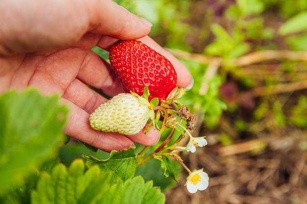 Weibliche landarbeiterhand, die rote frische reife organische erdbeere im garten erntet