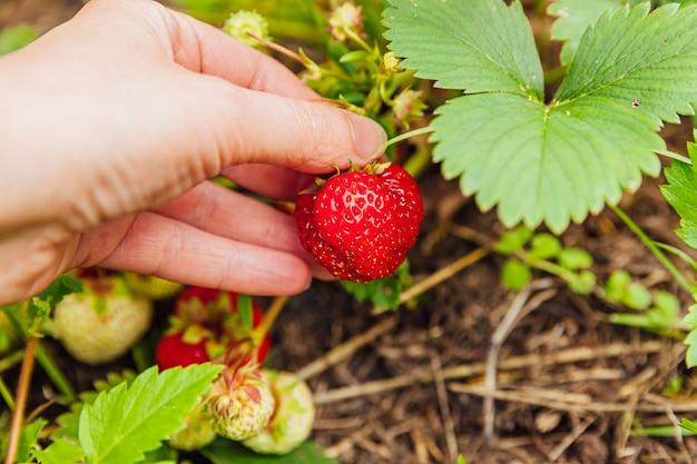 Weibliche landarbeiterhand, die rote frische reife organische erdbeere in der veganen vegetarischen hausgemachten lebensmittelproduktion des gartens erntet