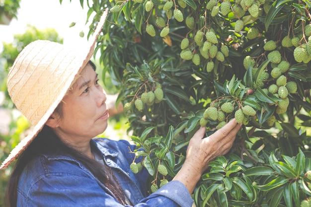 Weibliche landwirte überprüfen litschi im garten.