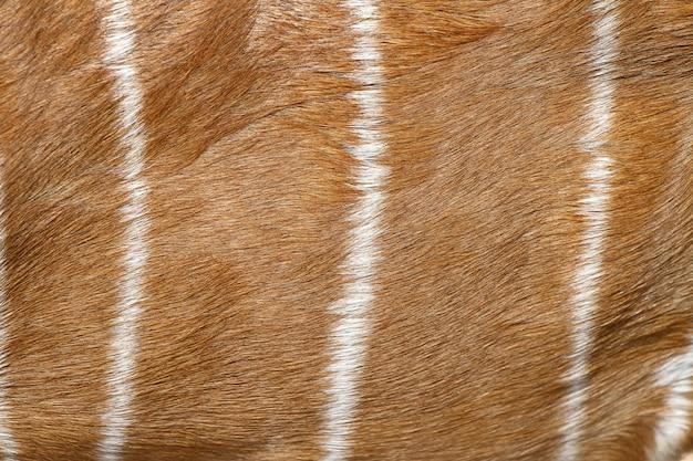 Weibliche nyala-haut für muster