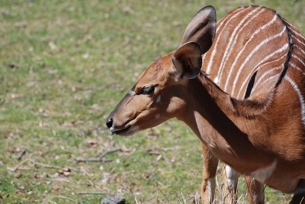 Weibliche nyala mit teilweise herausgestreckter zunge