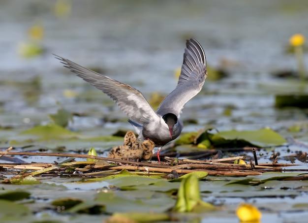 Weibliche schnurrbartseeschwalbe steht auf dem nest mit chiks mit offenen breiten flügeln