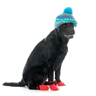 Weibliche schwarze labrador retriever und socken