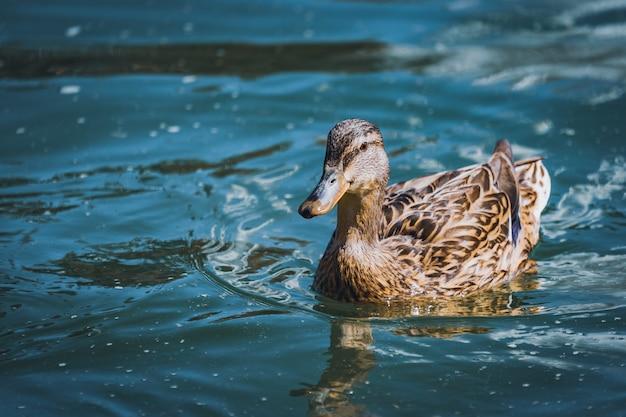 Weibliche stockente, die auf einem see schwimmt