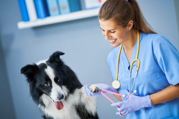 Weibliche tierärztin, die krallen schneidet und einen hund in der klinik untersucht