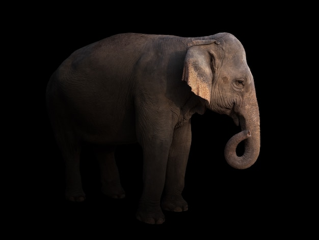 Weiblicher asien-elefant in der dunkelheit mit scheinwerfer