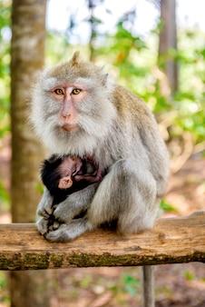 Weiblicher balinesischer langschwanzaffe mit ihrem kind